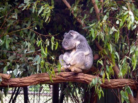cuisine antillaise colombo de poulet lone pine koala sanctuary à la rencontre des koalas et