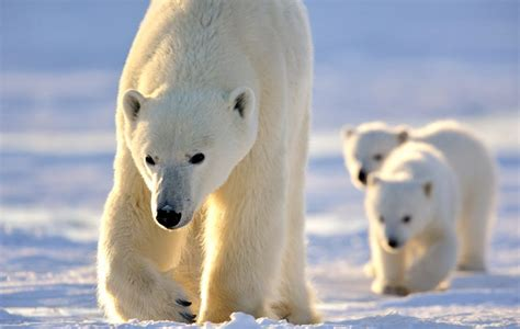 fast facts  polar bears arctic kingdom