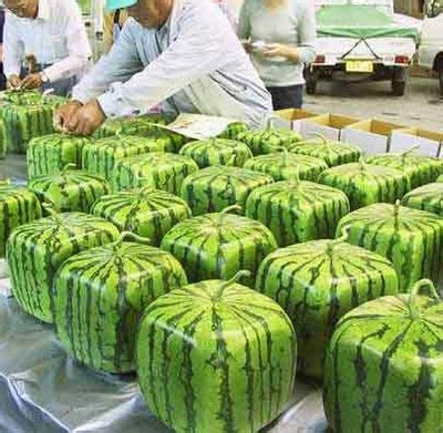 how and why square watermelons are made what about