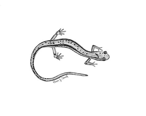 latest salamander tattoo drawings