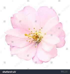 Closeup Delicate Bright Pink Cherry Blossom Stock Photo ...