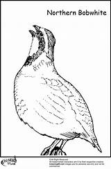 Quail Coloring Pages Thing Bobwhite Drawing Clipart Northern Bird Clip Egg Getdrawings Teamcolors Library Colors Team sketch template