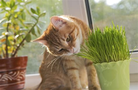 plants cat indoor eating why does animals