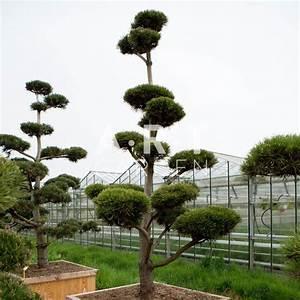 Arbre En Nuage : arbres nuage japonais pour ext rieur original r sistant pinus mugo ~ Melissatoandfro.com Idées de Décoration