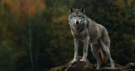 Animated Wolf Wallpaper Hd - desktop cool animated wolf images wallpaper
