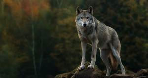 Desktop Cool Animated Wolf Images Wallpaper