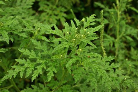 artemisia persiana plantas medicinales