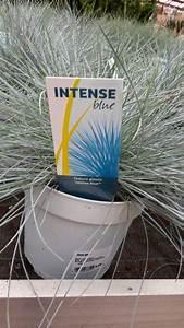 Festuca glauca 'Intense Blue' | Festuca glauca 'Intense ...