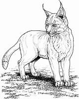 Coloring Cat Pages Lynx Cats sketch template