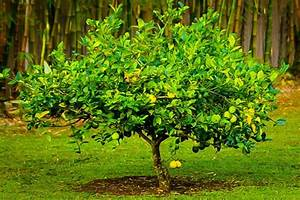 Meyer Lemon Tree Guide