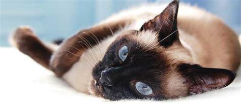 top  katzen die wenig haaren tierisch wohnen