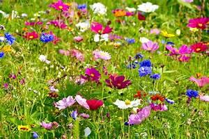 Wiese Mit Blumen : pflegeleicht und wundersch n wildblumenwiesen im garten ~ Watch28wear.com Haus und Dekorationen