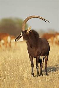 40 best images about Sable Antelope on Pinterest | The ...