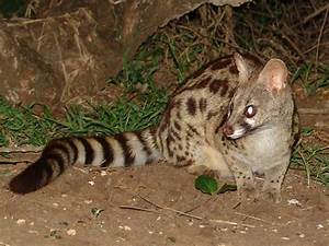 Large-spotted Genet Genetta tigrina