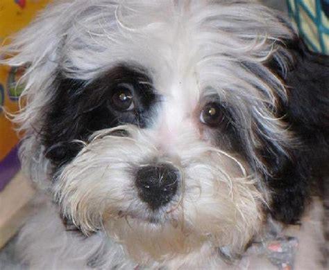 Photos Black Dog Breeds Non Shedding Dog Breeds Mixed