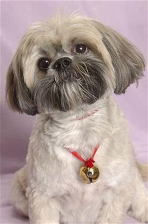 lhasa apso haircuts teddy bear cut llaso apso dogs