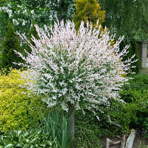 salix hakuro nishiki image dappled willow salix integra hakuro nishiki 490171 images and of plants and