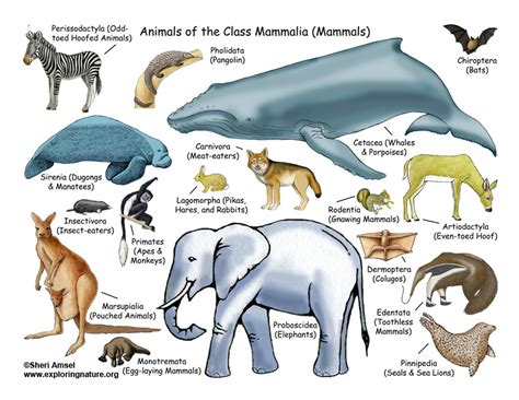 Class Mammals (4th Grade and up)