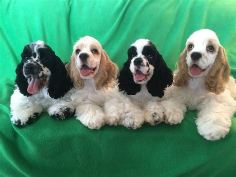 Our puppies come from champion bloodlines. Celebrating the Cocker Spaniel - American Kennel Club