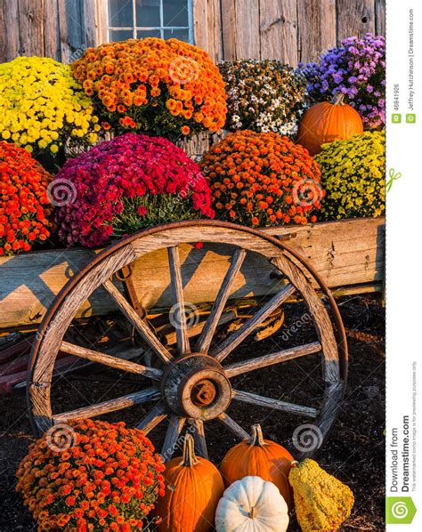 fall mums fall scene stock photo image of scene flowers straw 46841926