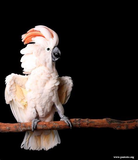 moluccan cockatoo moluccan cockatoo world parrot trust