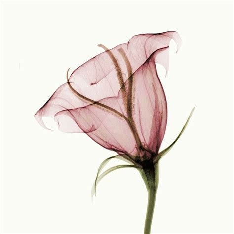 Blume Mit X flower x rays on x rays flower and