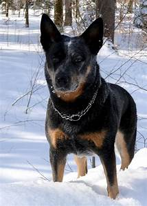 Australian Cattle Dog — Not In The Dog HouseNot In The Dog ...