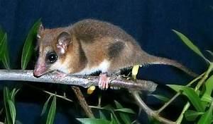 Marsupial Mouse « Australian Animals