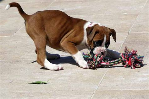feeding boxer dogs  puppies  adulthood