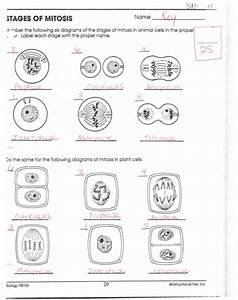 Mitosis Worksheet Diagram Identification Answers