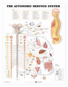 Human Autonomic Nervous System Anatomical Chart
