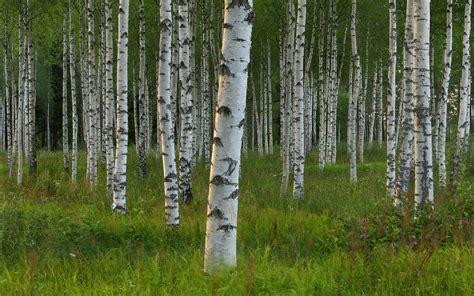 birch forest tree wallpaper birch forest hd desktop wallpapers 4k hd