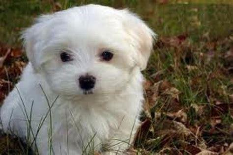 havaneser oder malteser tiere hund kauf
