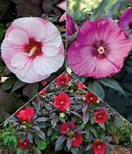 Riesen Hibiskus Kaufen : hibiskus stauden farb mix 39 von baldur garten auf kaufen ~ Watch28wear.com Haus und Dekorationen