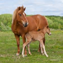 A Stallion Mounting Mare Related Keywords & Suggestions ...