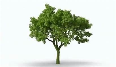 Trees Animated Tru Tree Banyan