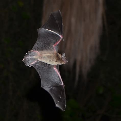 evening bats nycticeius humeralis