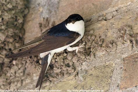 mehlschwalbe steckbrief und infos naturfotografien von