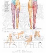 Innervation  Derma...Dermatomes Netter