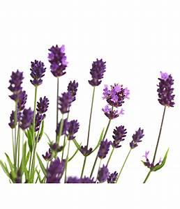 Lavendel Pflanzen Im Topf : lavendel 19 cm topf dehner ~ Michelbontemps.com Haus und Dekorationen
