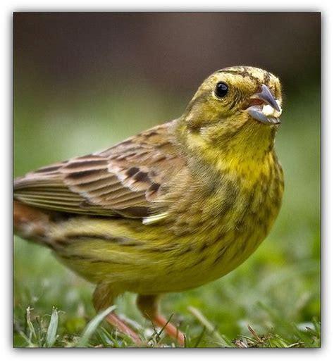 alabama state bird alabama state bird yellowhammer