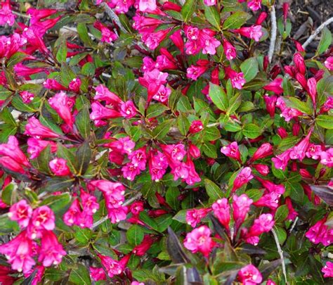 17 Best Images About Flowering Bushes On Pinterest