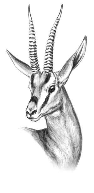 cuviers gazelle google search animal pencil
