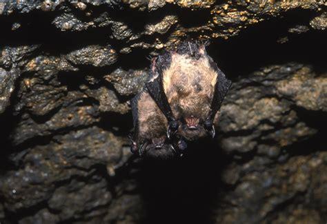 little brown bat myotis lucifugus natureworks