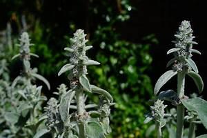 Plante Oreille De Lapin : images gratuites cheveux blanc feuille fleur gel duveteux herbe botanique flore fleur ~ Melissatoandfro.com Idées de Décoration