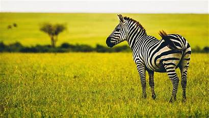 Zebra Wildlife Savanna Animal 1080p Striped Fhd