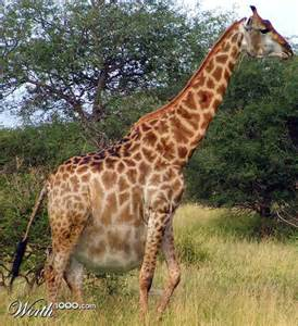 Fat Giraffe Real