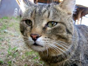 brown tabby cat sad eyed brown mackerel tabby cat russian cats pictures