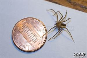 Brown recluse spider with penny :: Wildlife and Nature ...