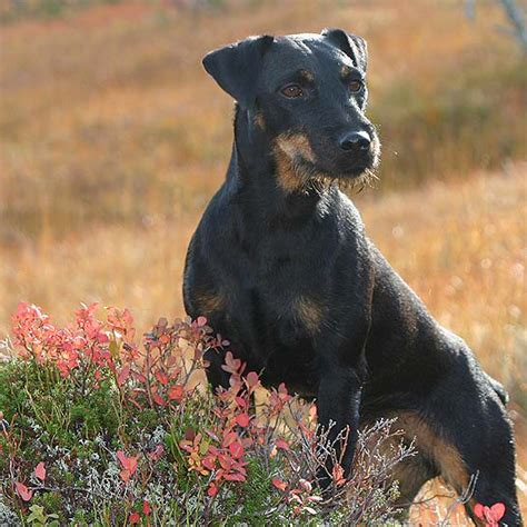 jagdterrier breed guide learn   jagdterrier